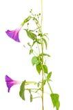 Blommor för purpurea för morgonhärlighet Arkivfoto