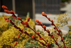 Blommor för Pussypil och mimosa Royaltyfri Bild