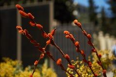 Blommor för Pussypil och mimosa Royaltyfria Bilder
