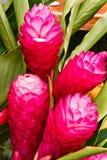 Blommor för röd ingefära Arkivbilder