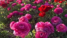 Blommor för röd vår i trädgård stock video