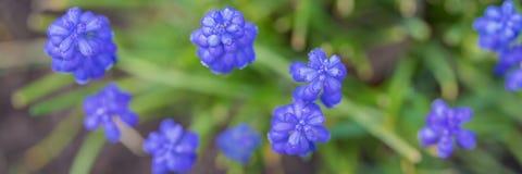 Blommor för rengöringsdukbanermuscari royaltyfria bilder