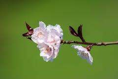 Blommor för rosa färger för Apple träd Arkivfoton