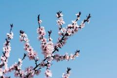 Blommor för rosa färger för Apple träd Fotografering för Bildbyråer