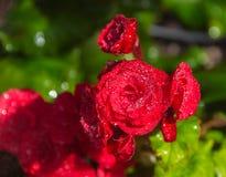 Blommor för rosa färger för pelargoniapelargongrupp ljusa cerise arkivfoto