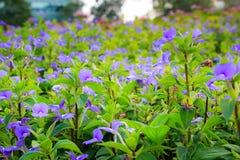 Blommor för söt violet Royaltyfri Bild