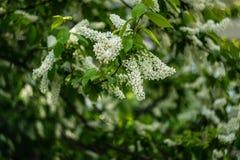 Blommor för ` s för Apple träd arkivbild
