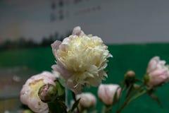 Blommor för snitt för Paeonialactiflora Bår-nya Royaltyfri Fotografi
