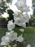 Blommor för sommar för makrofoto härliga vita av den Carpathian Klockan Royaltyfri Foto