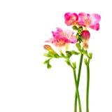 Blommor för sommarblomningrosa färger Arkivfoton