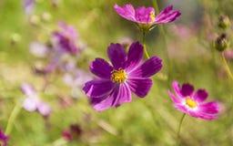 Blommor för sommarlilaträdgård Royaltyfri Bild