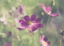 Blommor för sommarlilaträdgård Arkivfoton