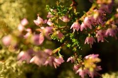 Blommor för sommarskogljung drunknade i morgonsolljuset royaltyfria bilder