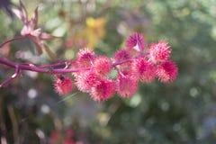 Blommor för svängbart hjulböna Fotografering för Bildbyråer