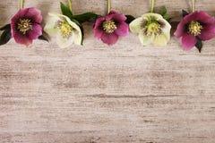 Blommor för tappningramvår av helleboren på ljus - brun lantlig bakgrund Royaltyfri Fotografi