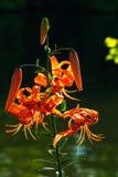 Blommor för tigerlilja Fotografering för Bildbyråer