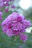 Blommor för trädgårds- rosa färger för vanlig hortensia fotografering för bildbyråer