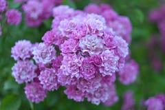 Blommor för trädgårds- rosa färger för vanlig hortensia arkivfoton