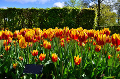 Blommor för Tulipamickeymus i holländsk vår arbeta i trädgården Keukenhof Arkivfoto