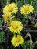 Blommor för Tussilagofarfaraguling arkivfoto