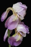 Blommor för tysk iris Arkivfoton