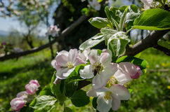 Blommor för våräppleträd Royaltyfri Foto