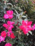 Blommor för varma rosa färger som är våta efter regn Royaltyfria Foton