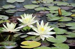 Blommor för vit lotusblomma i dammet Arkivbilder