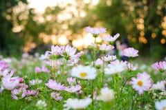 Blommor för vit- och rosa färgfärgkosmos som blommar i trädgården royaltyfri bild