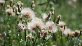 Blommor för vit tistel arkivfilmer