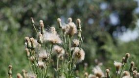 Blommor för vit tistel stock video