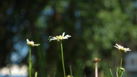 Blommor för vit tusensköna dinglar i vind sommarfältet Härliga tusenskönor blommar i sommar på gräsmatta Phytotherapy Blomma arkivfilmer