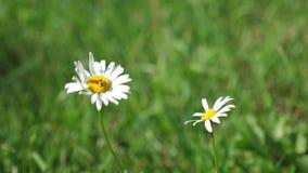 Blommor för vit tusensköna dinglar i vind sommarfältet Phytotherapy Härliga tusenskönor blommar i sommar på gräsmatta Blomma stock video