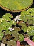Blommor för vitt vatten Royaltyfria Bilder