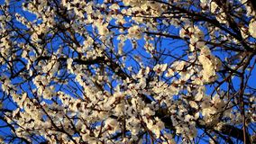 Blommor f?r aprikostr?d arkivfilmer