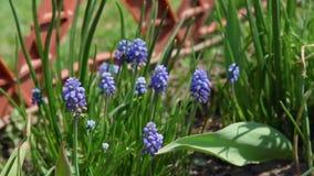 Blommor f?r hyacint f?r v?rmuscaridruva arkivfilmer