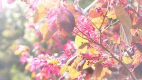 Blommor f?r LoranthusAcaciae r?da ?ken H?rlig blomma i vinden i tr?dg?rden Sun ljus 4k ultrarapid lager videofilmer