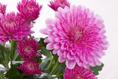 blommor för höstchrysanthemumblomma Arkivfoton