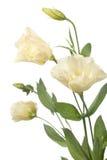 blommor fragment isolerad blek white Arkivbild