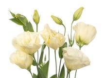 blommor fragment isolerad blek white Royaltyfri Foto