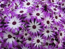 Blommor - gerbera 3 arkivbild
