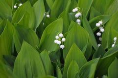 blommor grupperar lilly dalen Arkivbild