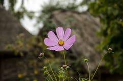 Blommor i byn Royaltyfri Fotografi