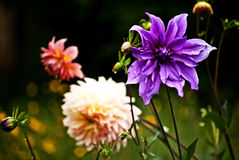 Blommor i Chile Arkivbild