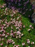 Blommor i de höga steniga bergen, de Brenta dolomitesna Arkivbilder