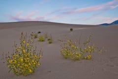 Blommor i den stora nationalparken för sanddyn Royaltyfri Foto