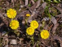 Blommor i den tidiga våren, blommande tussilago, tussilagofarfara, närbild, selektiv fokus, grund DOF arkivfoto