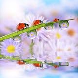Blommor i dropparna av dagg på det gröna gräset och nyckelpigorna Royaltyfri Foto
