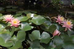 Blommor i en sjö Royaltyfri Fotografi