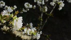 Blommor i ett tr?d med m?rk bakgrund arkivfilmer